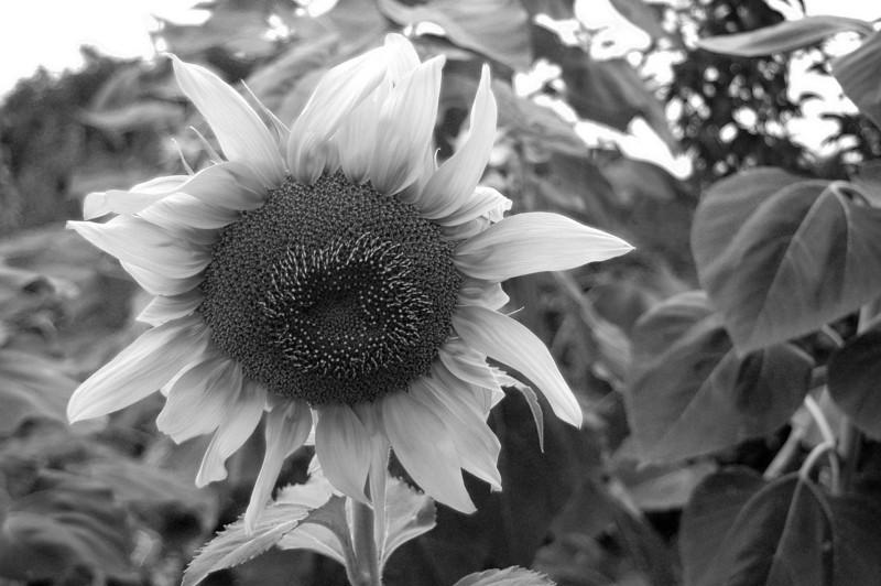 Big sunflower 2191.jpg