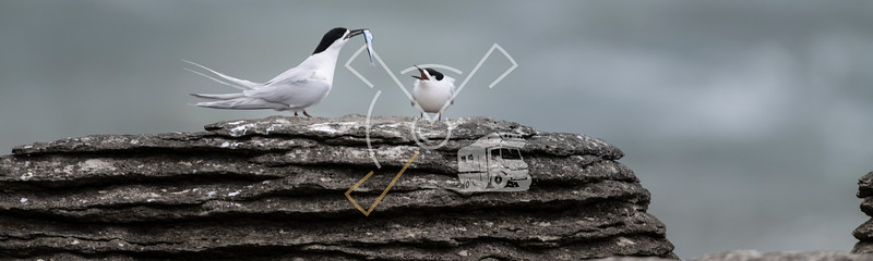 Active terns of the white-fronted tern colony during a courtship behaviour at Pancake rocks, New Zealand.