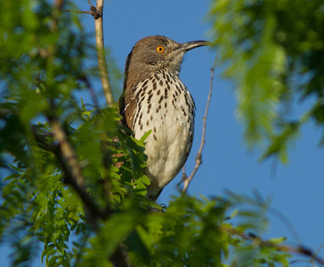 Long-billed Thrasher Toxostoma longirostre