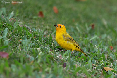 Thraupidae (Tanagers and allies)