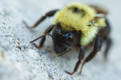10-06-17 Bumble Bee