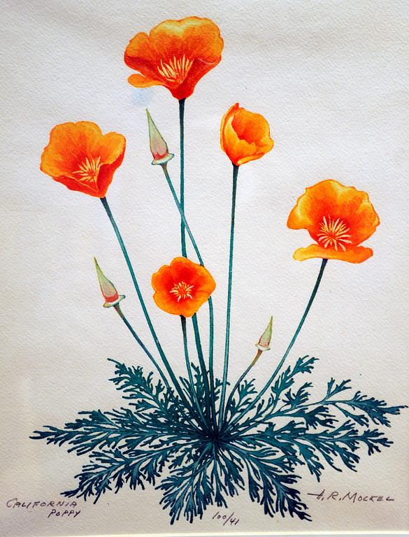 ". This Calfiornia poppy was painted by Henry Mockel in te 1960\'s. It is a watercolor on paper. ""When they were wild,\"" is the Huntington Library\'s new Wildflower exhibition which kicks off a month of talks, workshops and wildflower sales. San Marino, CA 3/8/2013(John McCoy/Staff Photographer)"