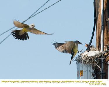 WesternKingbirdsA&N1644.jpg