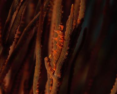 Rhinoceros Shrimp