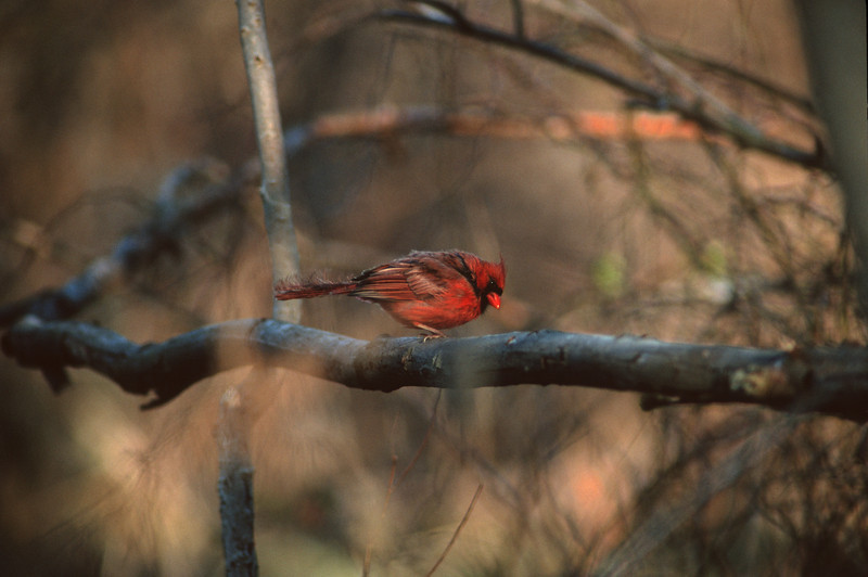 Northern Cardinal; Just out of the water in Cincinnati, OH