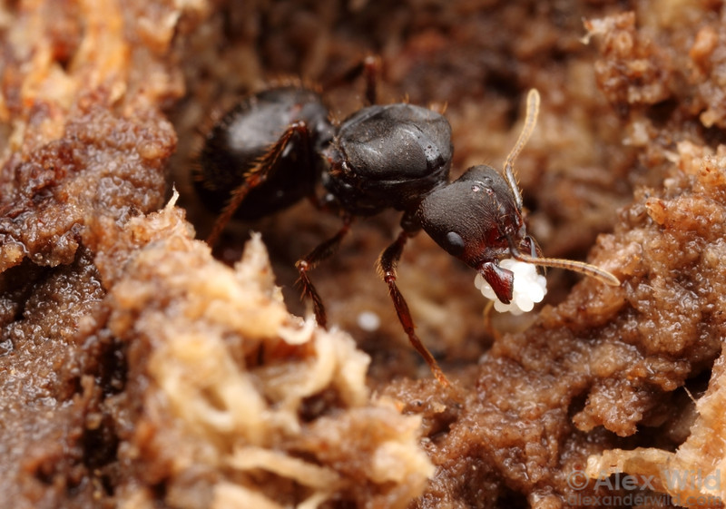 A Pheidole foundress queen with her first eggs.  Maquipucuna reserve, Pichincha, Ecuador