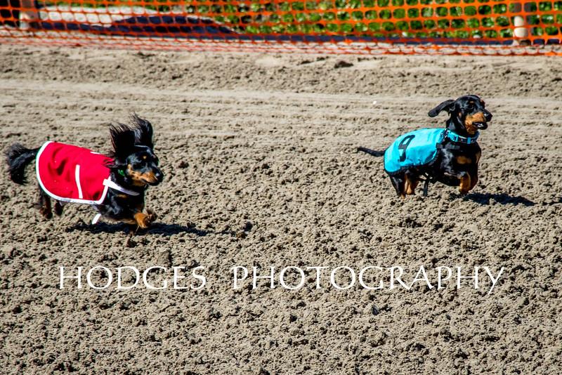 Weiner Dog Races 2016