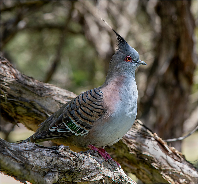 26. Crested Pigeon.jpg
