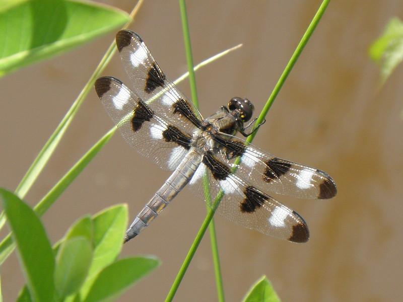 Twelve Spotted Skimmer, male