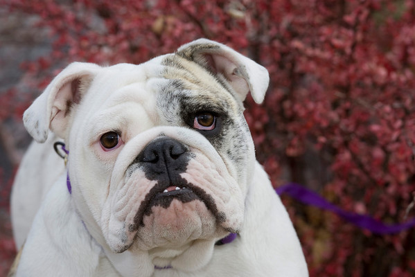 Bulldog Lauren