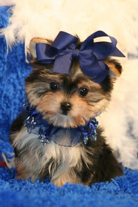Morkie Puppy Information