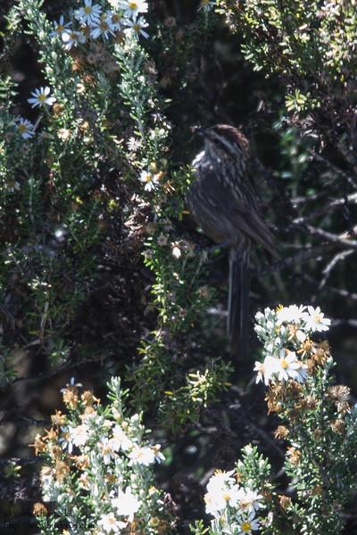 Andean Tit-Spinetail - Record - Antisana Ecological Preserve, Ecuador