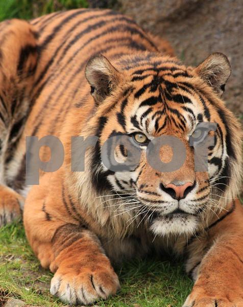 Sumatran tiger 2619.jpg