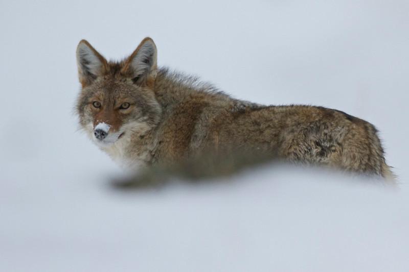 Coyote Snow 1.jpg