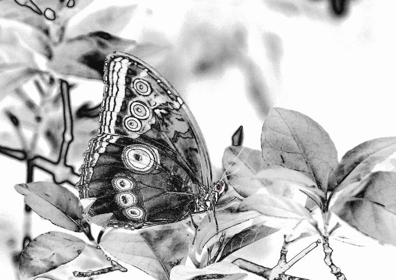St Louis 2 119 butterfly brown eye  b w .jpg