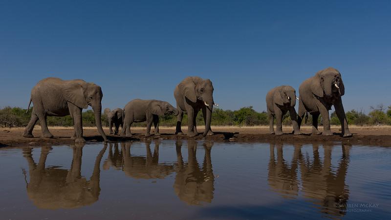 African Elephant, Mashatu GR, Botswana, May 2017-36.jpg