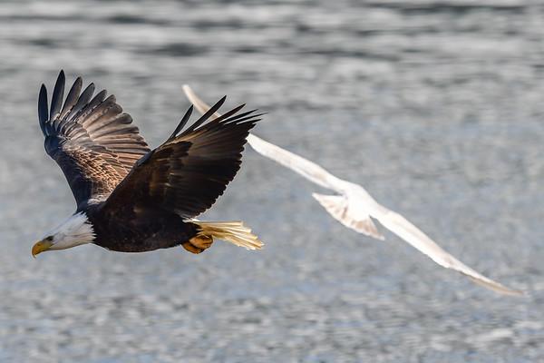 11-22-17 Bald Eagles - Estuary Harrison Mills