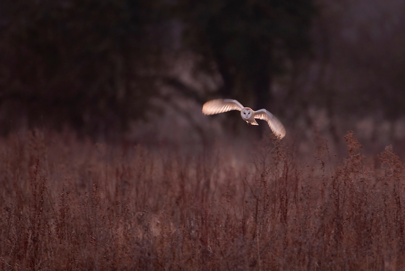 Barn owl flight 1.jpg