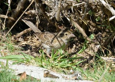 Cassin's Sparrow in Coronado 10/22/2017