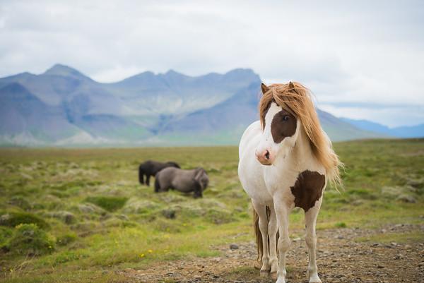 Sheep, Horses, Puffins