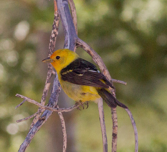Western Tanager Mammoth Lakes 2013 08 15 (3 of 3).CR2