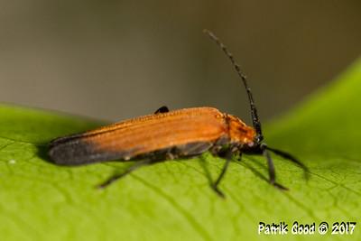 Black-tailed Lycid Beetle