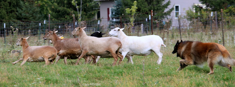 2015.9.27 Herding at Bonnies (40).JPG