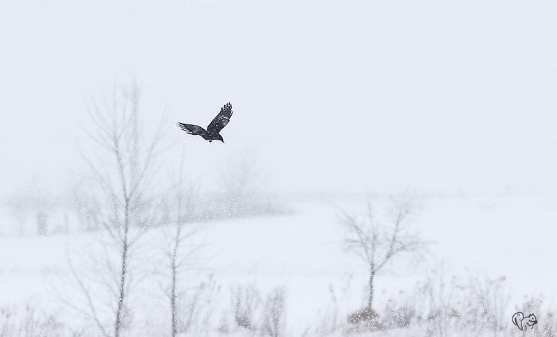 Crow is snow storm
