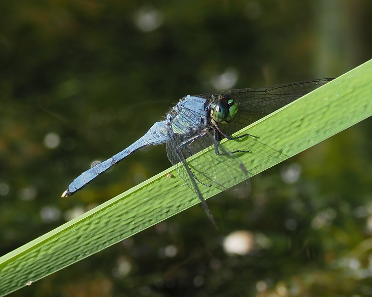 Eastern Pondhawk, male