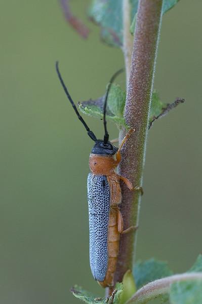 Silmiksikk Oberea oculata