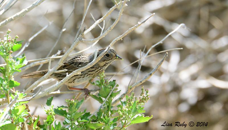 Lincoln's Sparrow - 4/6/2014 - Agua Caliente County Park, San Diego