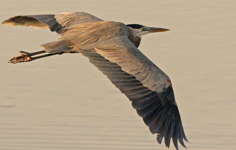 Great Blue Heron, Las Gallinas