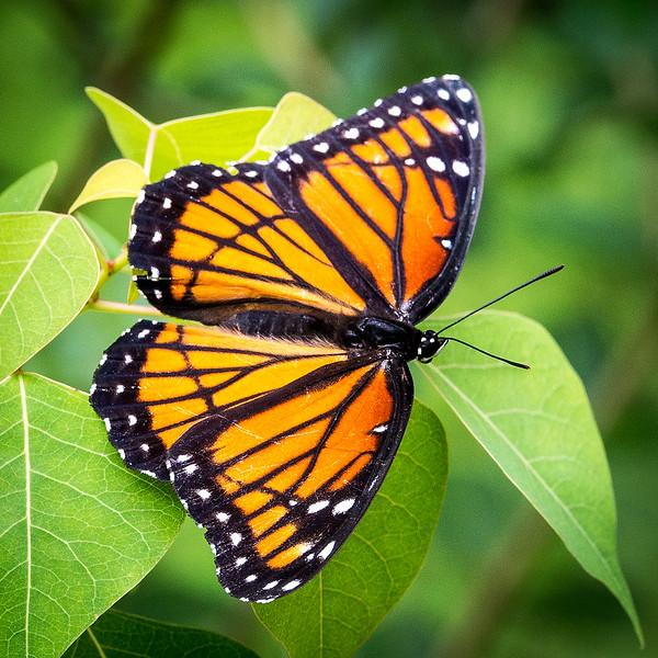Monarch Butterfly Danaus plexippus.jpg