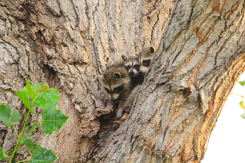 Three in the Tree