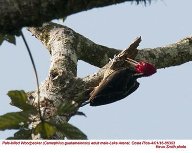 Pale-billed Woodpecker M86303.jpg