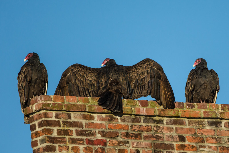 Turkey vultures on a sunny winter morning on Avery Island.