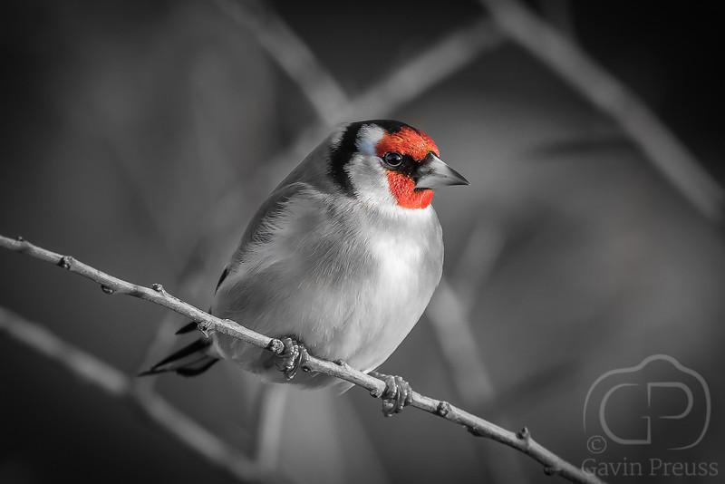 Goldfinch-.jpg