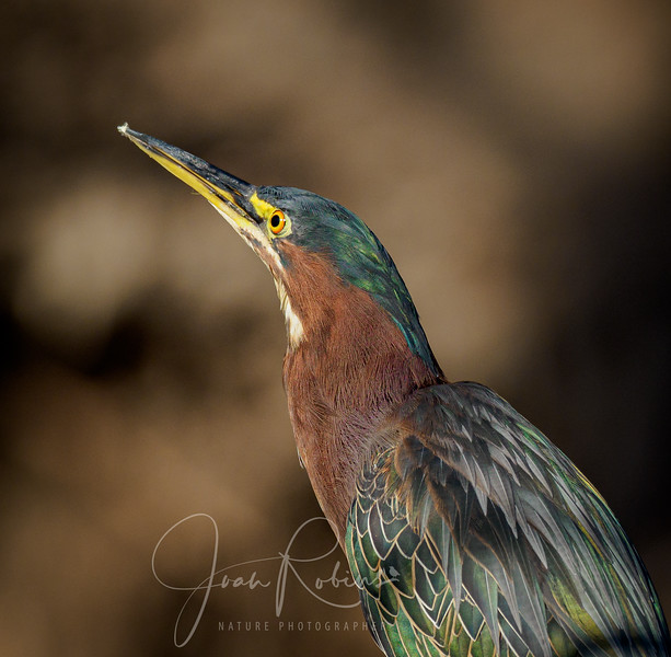 Green Heron Portrait