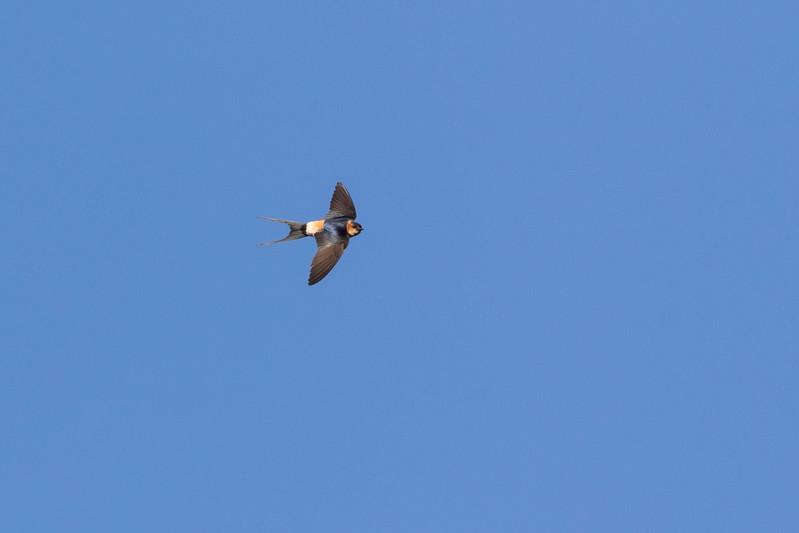 folgosinho, roodstuitzwaluw