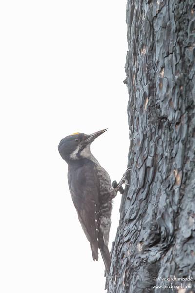 Black-backed Woodpecker - OR, USA
