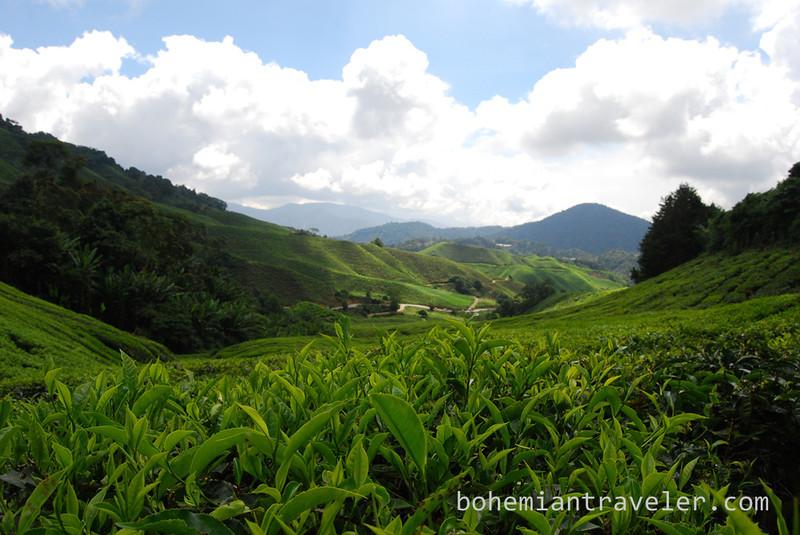 Cameron Highlands Malaysia Tea fields [Boh] (3).jpg