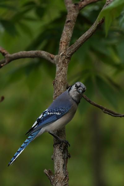Blue Jay_03.jpg