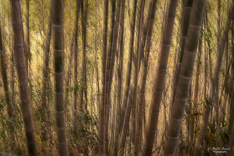 Bamboo Forrest 2