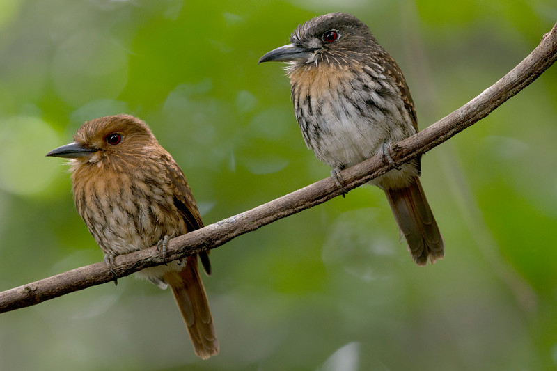 male and female White-whiskered Puffbirds _9544.jpg