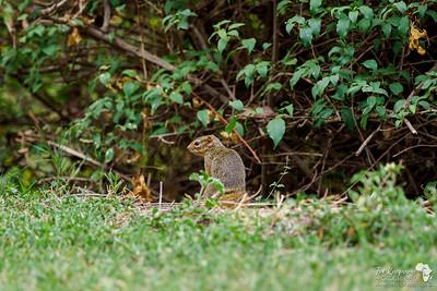 Tree Squirrel in Arusha