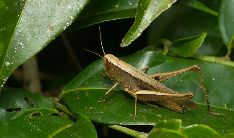 Cryptic grasshopper from Panama.
