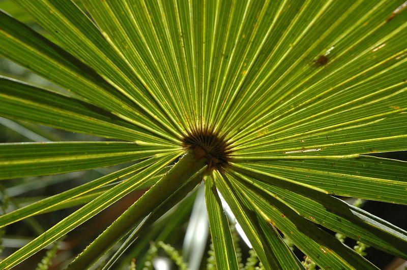 Palm leaf backlit by the sun.