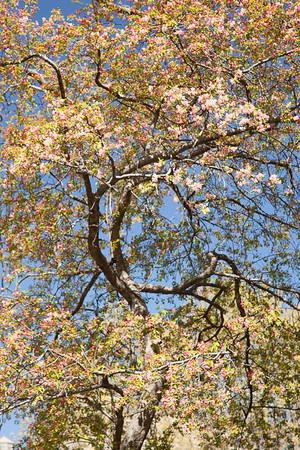 Cherry Blossom Jisei