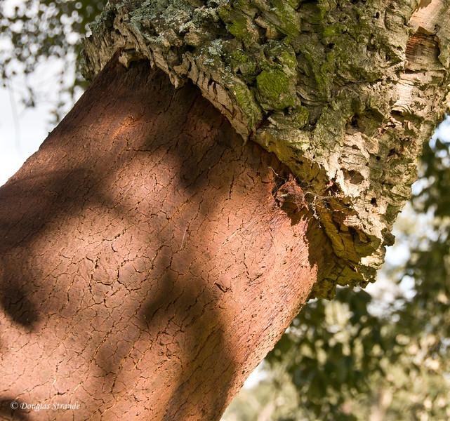 Wed 3/16 en route to Lisbon: Closeup of the stripped cork oak