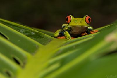 Frogs / Grodor